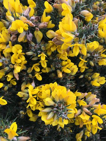 Ardmore, Ierland: prickly gorse greets you along the path with its pretty flowers but sharp thistles