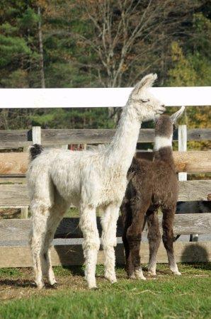 Ballston Spa, NY: Baby llamas (called cria), Lluvia and Fledge.
