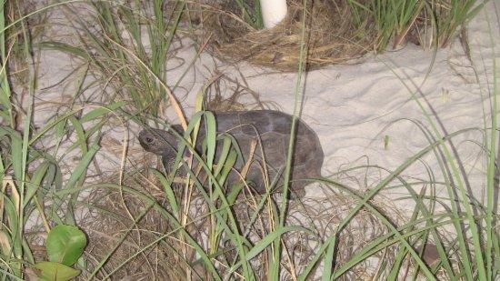 Vanderbilt Beach, FL: turtle
