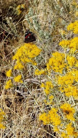 Almo, ID: Rabbitbrush at Smoky Mtn Campground