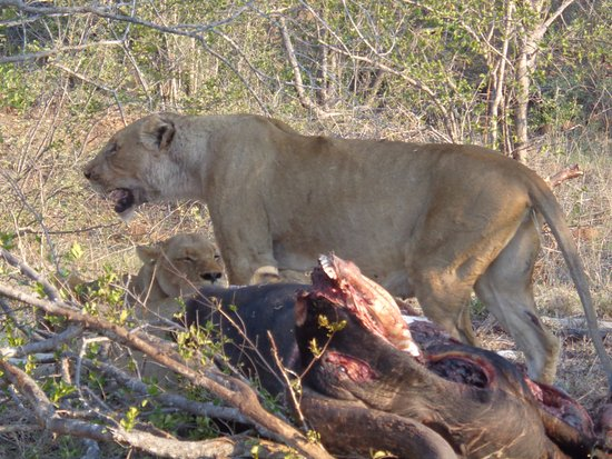 Timbavati Private Nature Reserve, แอฟริกาใต้: Pride of Lions on Buffalo kill