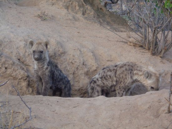 Timbavati Private Nature Reserve, แอฟริกาใต้: Hyena cubs