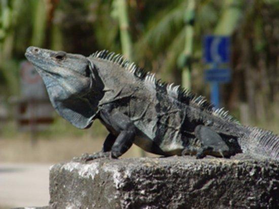 Плайя-Гранде, Коста-Рика: Iguana