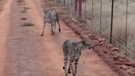 Madikwe Game Reserve, South Africa: Cheetahs tracked down by Visser