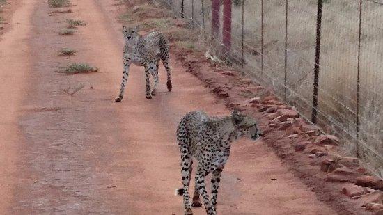 Заповедник Мадикве, Южная Африка: Cheetahs tracked down by Visser