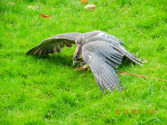 Newark-on-Trent, UK: Lanner falcon eating it's catch.