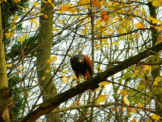 Newark-on-Trent, UK: Harris hawk