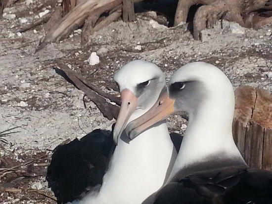 Midwayinseln, HI: Laysan Albatross