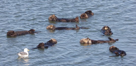 Moss Landing, كاليفورنيا: Otters relaxing