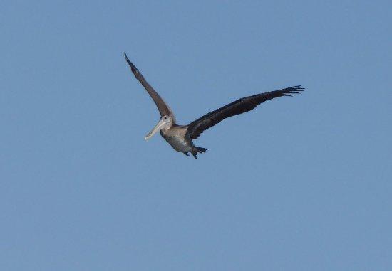 Moss Landing, كاليفورنيا: Pelican