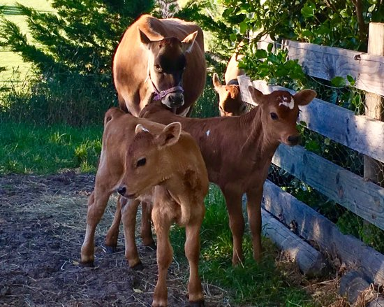 Cheviot, Nueva Zelanda: Cows and calves to see here at Ribbonwood Country House