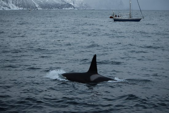 Killer Whale Tours Norway