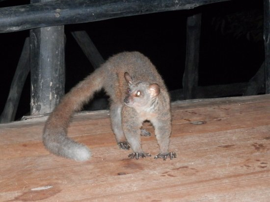 Shimba Hills National Reserve, Quênia: Bush baby dinner guest!