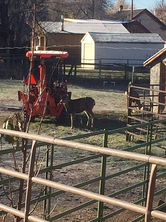 Spring City, Юта: Deer hanging out on the farm at the Osborne Inn