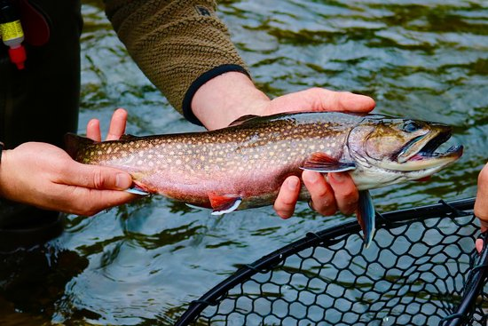 Gorham, Μέιν: A gorgeous Western Maine brook trout