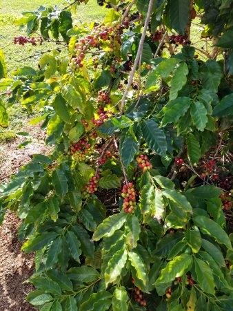 Kalaheo, HI: coffee bush