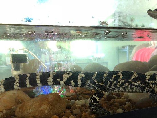 Lake Panasoffkee, ฟลอริด้า: Baby alligator in tank