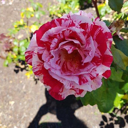 Parnell Rose Gardens : 20171203_142658_large.jpg
