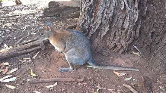 Cowes, Australia: Phillip Island Wildlife Park - Wallaby