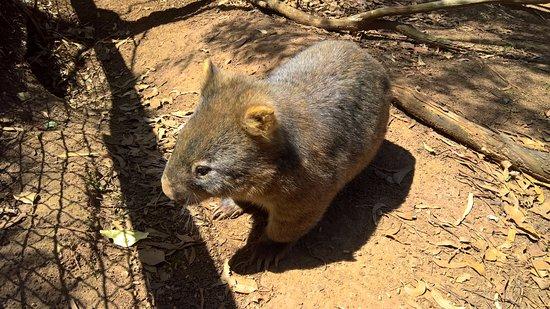 Cowes, أستراليا: Phillip Island Wildlife Park - Wombat