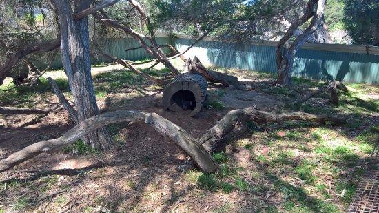 Cowes, أستراليا: Phillip Island Wildlife Park - Tasmanian Devil
