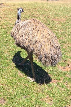 Cowes, Australië: Phillip Island Wildlife Park - Emu