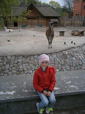 Калининградский зоопарк: Музыка для ламы
