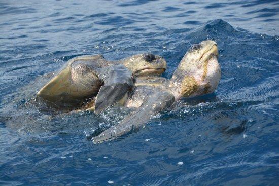 Playa Matapalo, Costa Rica: Schildkröten beim X