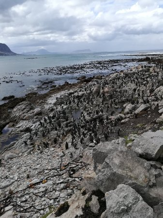 Stony Point Penguin Colony : IMG_20171121_113017_large.jpg