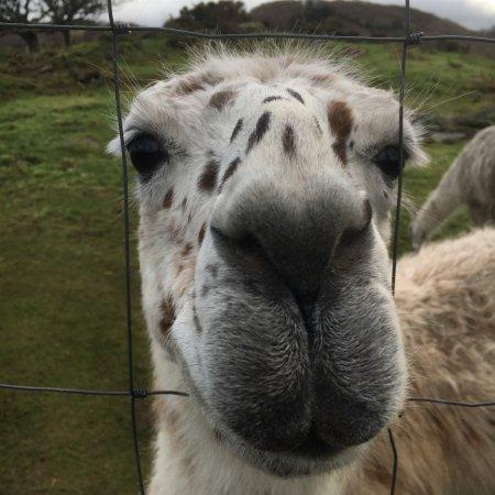 Black Rock Llamas: photo7.jpg