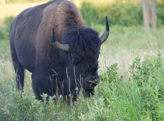 Wasagaming, Canadá: bison