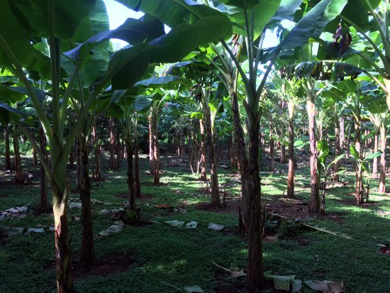 Balgue, Nicaragua: 4 Elementos is set on 5 acres that we farm organically. This is our banana and plantain grove.