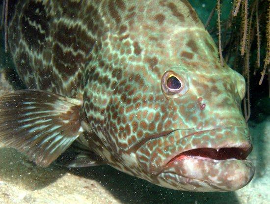 Utila, Honduras: Grouper