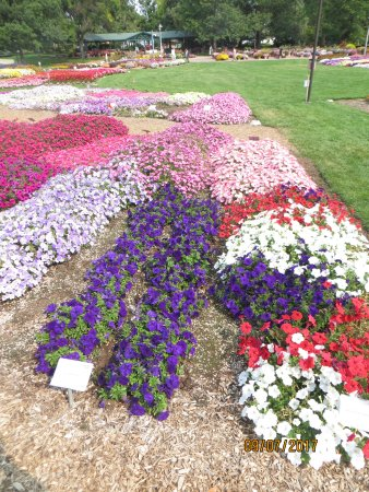 Fort Collins, CO: Petunias