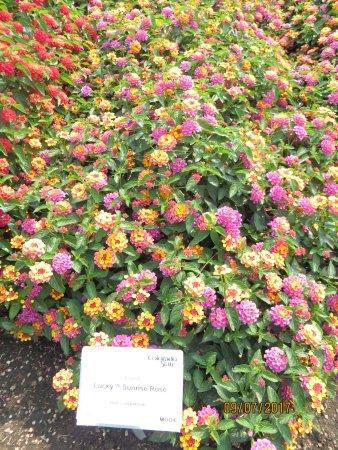 ฟอร์ตคอลลินส์, โคโลราโด: A Favorite Lantana Flowers