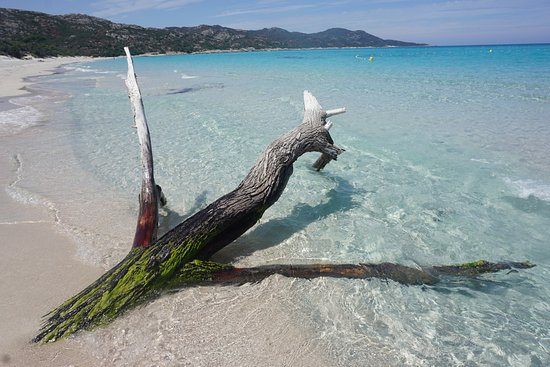 Corsica, France: Plage de Saleccia 2016 - trunk in the water