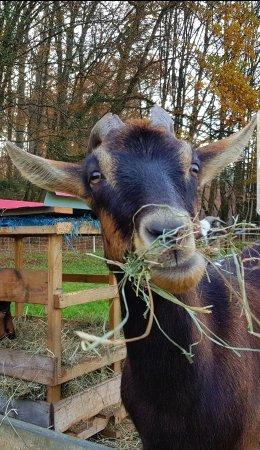 Saint-André-d'Allas, Francia: Pepsi chèvre alpine des Filolies
