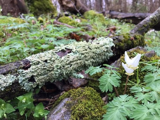 Martinsburg, WV: Dutchman's breeches int he spring.