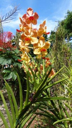 Deshaies, Guadeloupe: Orchidées