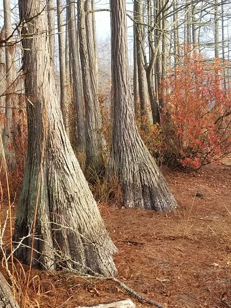 Carvers Creek State Park: cypress trees sans water