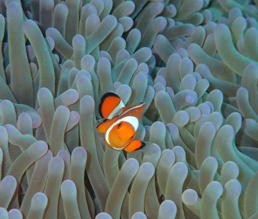 Biorock Pemuteran bali : Anemonefish on the Biorock