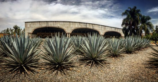 Amatitan, Mexico: A nice view of the agave garden and the masonry ovens used at Casa Herradura.