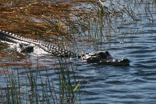 Down South Airboat Tours: Friendly encounter!
