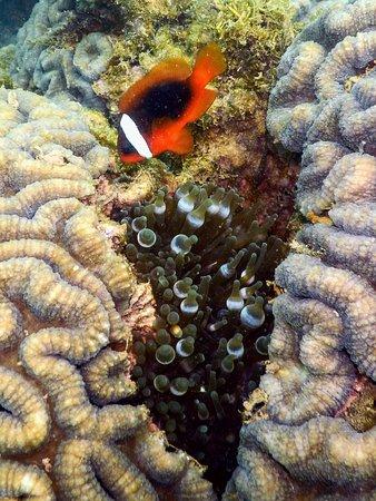 Karratha, Australia: Anemone fish, Cleaverville, WA