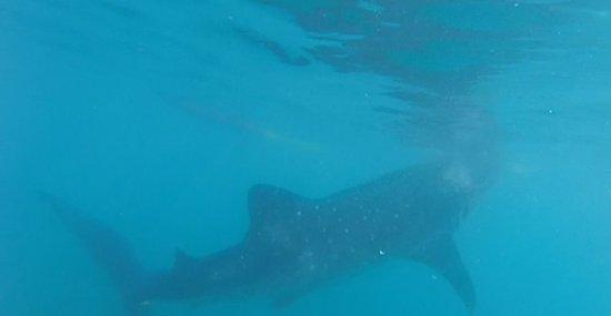 Oslob Whale Sharks: Whale Shark