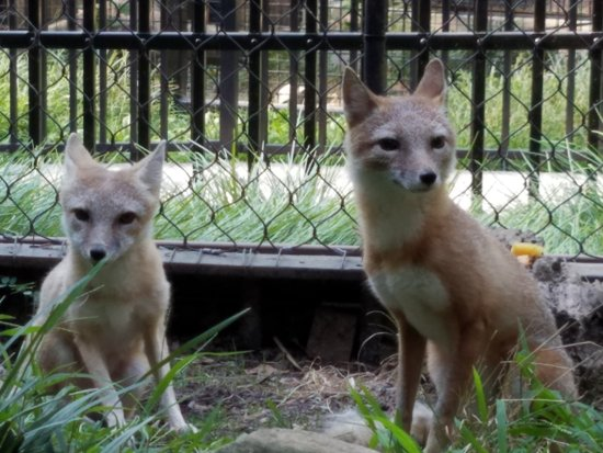 Wilmington, DE: swift foxes