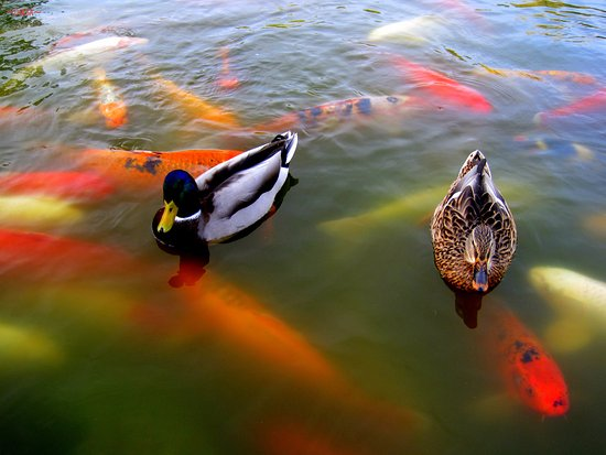 Anderson Japanese Gardens: Ducks and Koi waiting for someone to feed them.