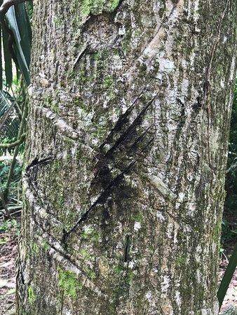 Belize District, Belize: Scary scratch on tree