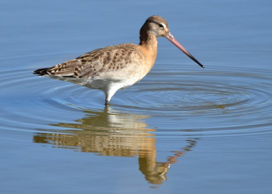 Samouco, Portugal : BLACK-TAILED GODWIT: no shortage of these guys at the right time of year