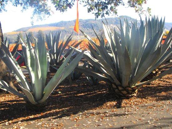 Round Pond Estate: Agave Plants, Round Poiind Estate, Napa Valley, Ca
